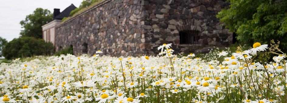 Kuvassa päivänkakkaraniitty, jonka taustalla muuria