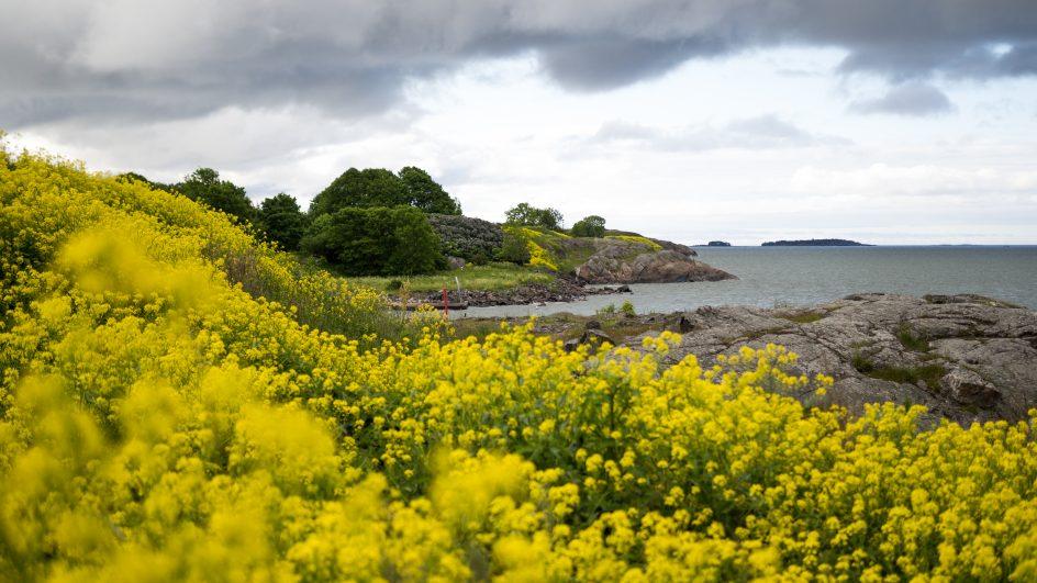 Kuvassa näkyy kalliomaisema ja meri. Kallio peittyy keltaisista kukista