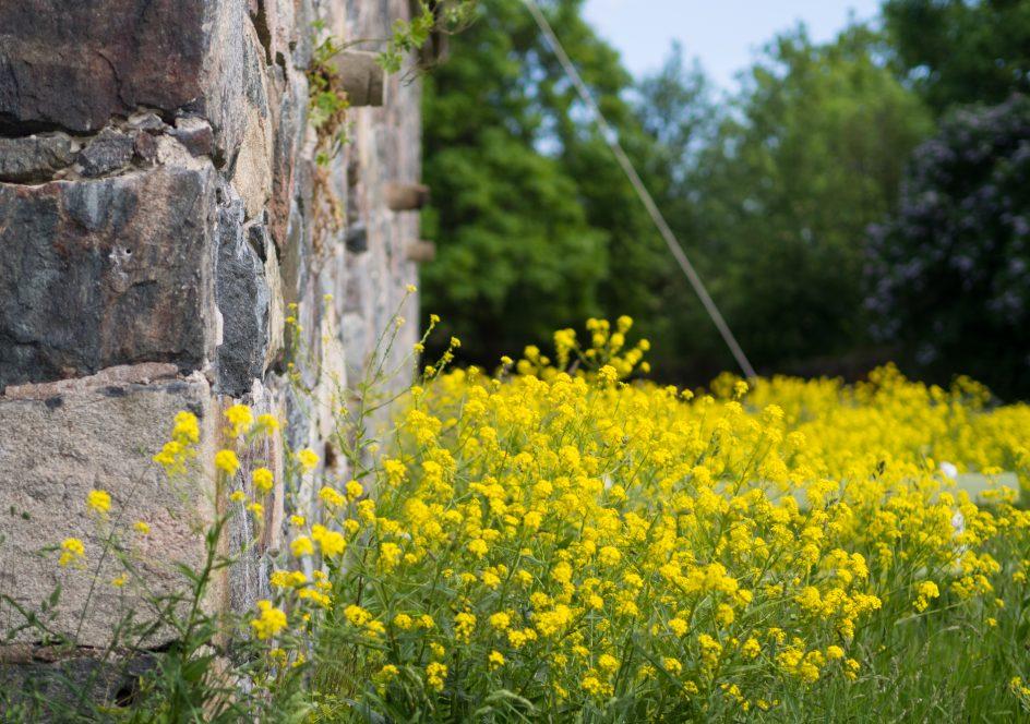 Kuvassa näkyy Suomenlinnan muuria ja keltaista ukonpalko-kasvillisuutta